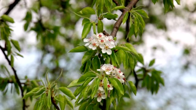 Pear blossom with new leaves, shaking in the spring light wind on blur background. video