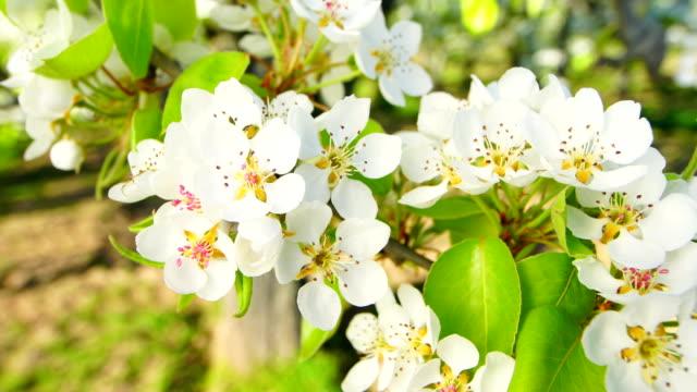 pear blossoms a sunny day - pistillo video stock e b–roll