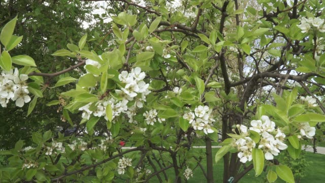 pear flowers on branches - pistillo video stock e b–roll