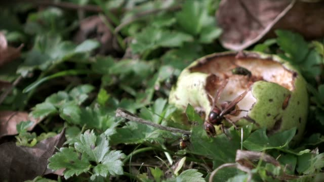 Pear march with hungry hornet video
