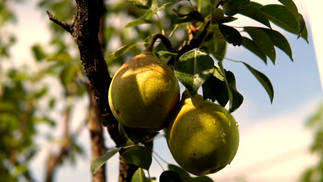 Pear On The Tree. Branch With Pear On The Tree. Pear Hanging on the Tree. Pear On The Tree. Branch With Pear On The Tree. Pear Hanging on the Tree. pear stock videos & royalty-free footage