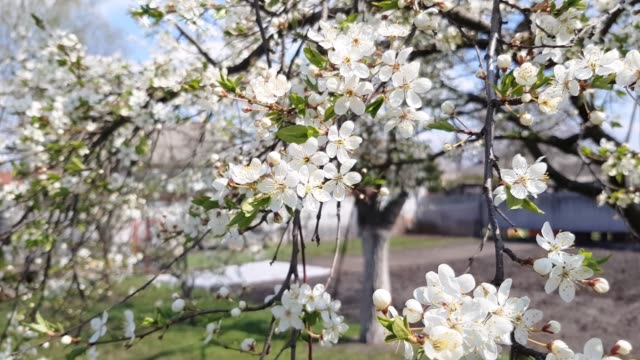 Pear tree blooms. In spring, the tree blooms with pink white flowers video