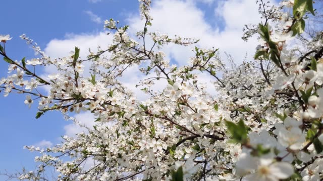 Pear tree blooms. Pear tree blooms. In spring, the tree blooms with pink white flowers, they are bee-eaten by bees. pear stock videos & royalty-free footage
