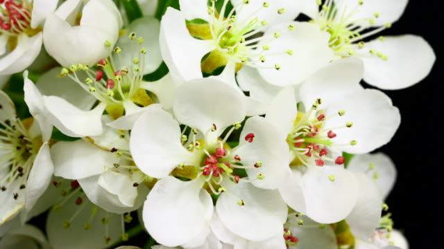 Pear tree flowers blooming 4K video