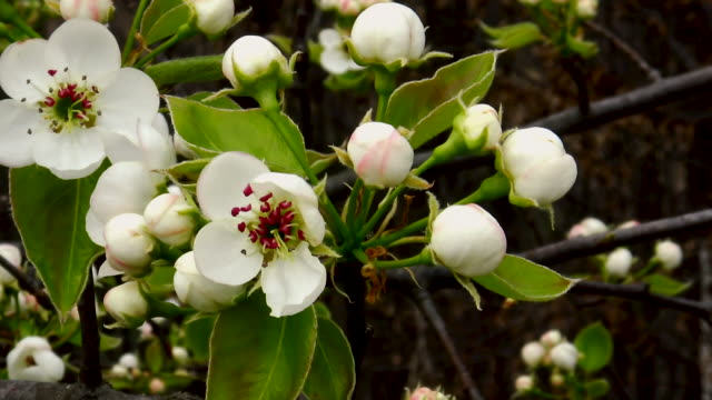 pear tree flowers in fool blossom with several small buds on a branch. - stame video stock e b–roll