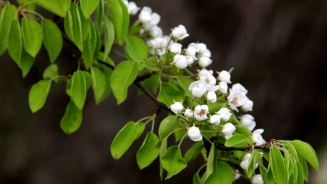 Pear white blossom trusses and new green leaves, waving in the spring light wind on blur dark background. video