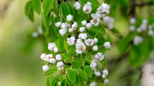 Pear white blossom trusses with pink stamens and new green leaves, waving in the spring light wind on blur background. video