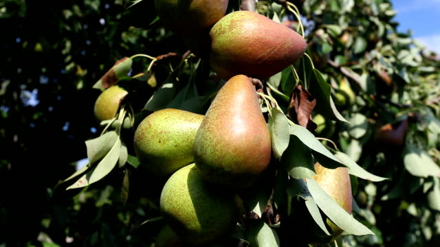 pears on a tree video