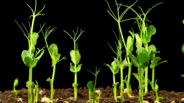 ärter bönor växer på svart bakgrund - pea sprouts bildbanksvideor och videomaterial från bakom kulisserna
