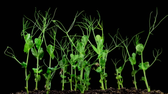Peas Beans Growing on Black Background video