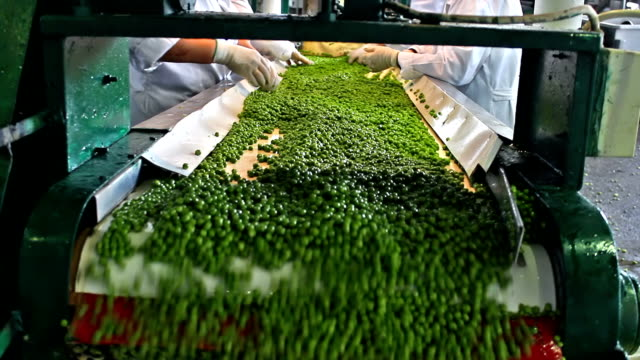 Peas processing factory video