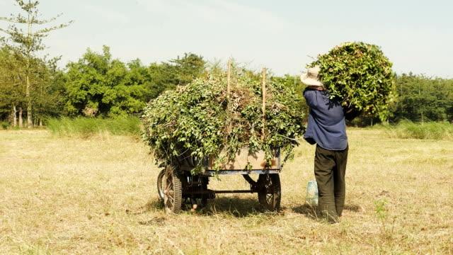 Peasant loading peanut plants into a trailer video
