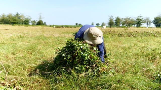 Peasant making bunch of peanut plants video