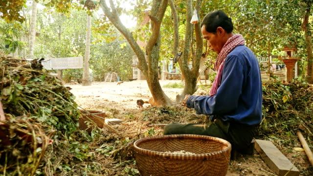 Peasant pulling peanuts off the peanuts plants video