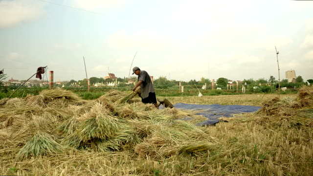 Peasant threshing rice with a flail against wooden board video