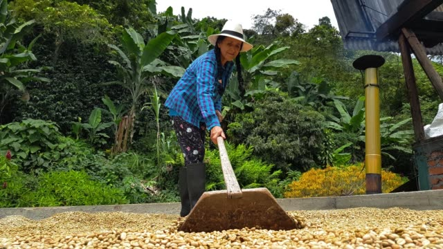 peasant woman working coffee - coffee farmer video stock e b–roll