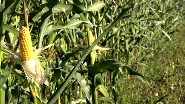 skalade majs på stjälk i jordbruket majs fält planta gen. närbild. 4k - skalhylsa bildbanksvideor och videomaterial från bakom kulisserna
