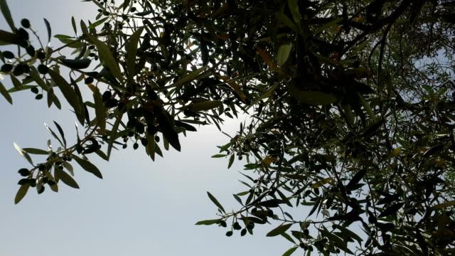 Peering Through Top of Olive Tree video