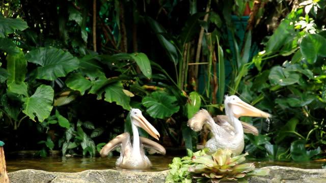Pelecanus philippensis video