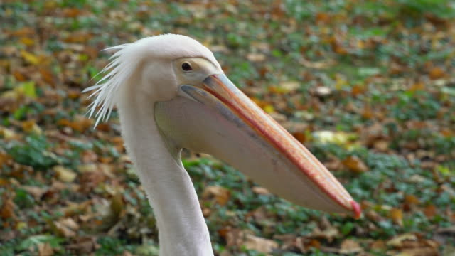 Pelican are watching us video