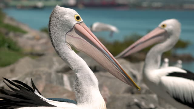 Pelican bird relaxing on the rocks close shot Pelican bird relaxing on the rocks close shot pelican stock videos & royalty-free footage
