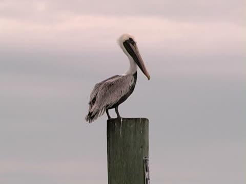 pelican brown amelia island florida pelican stock videos & royalty-free footage