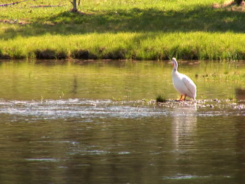 NTSC: Pelican cleaning itself in Yellowstone National Park water bird stock videos & royalty-free footage