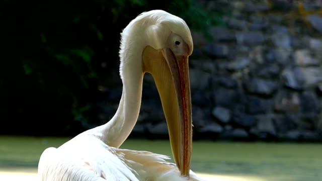 Pelican cleans itself. video