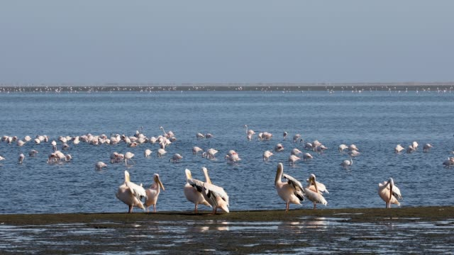pelican colony in Walvis bay, Namibia wildlife Pink-backed pelican and rosy flamingo colony in Walvis bay, Namibia Africa safari wildlife swakopmund stock videos & royalty-free footage