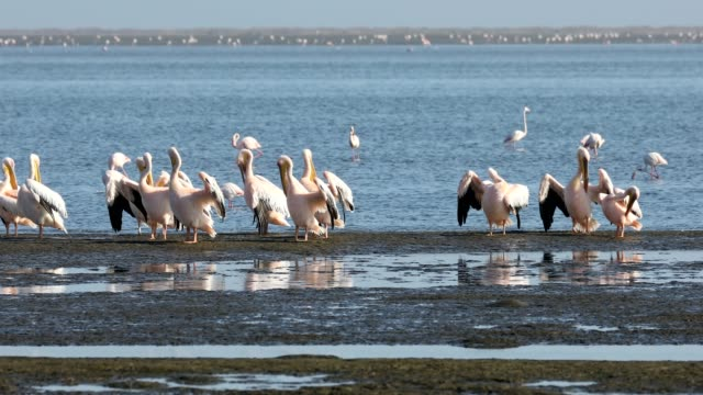 pelican colony in Walvis bay, Namibia wildlife colony of Pink-backed pelican and rosy flamingo in Walvis bay, Namibia Africa safari wildlife swakopmund stock videos & royalty-free footage