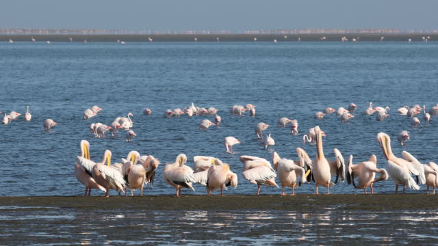 pelican colony in Walvis bay, Namibia wildlife Pink-backed pelican and rosy flamingo colony in Walvis bay, Namibia safari wildlife swakopmund stock videos & royalty-free footage