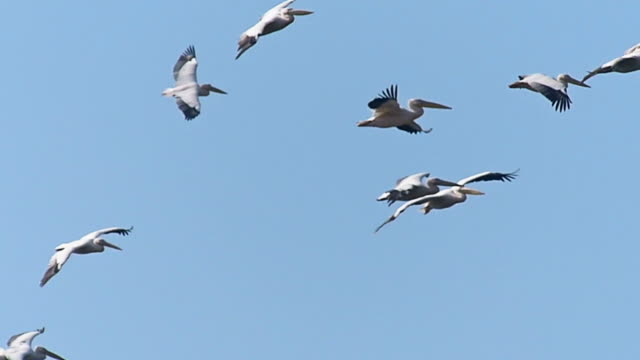 Pelican Flight Pelican flock during flight - Slow motion video pelican stock videos & royalty-free footage
