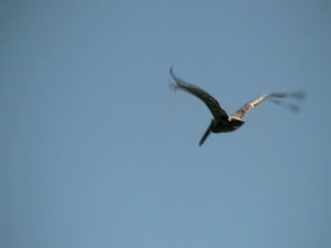 Pelican Fly-By Pelican Fly-By.  SD 4:3 NTSC 720 x 486i @ 29.97 fps. Motion-B Compression. Natural background audio -- or no audio. (HD057).  See similar video clips at http://www.istockphoto.com/korudirect.  HD / WIDESCREEN VERSION IS FILE # 6300225 - CAN BE USED IN PAL AND NTSC STANDARD DEFINITION EDITS   pelican stock videos & royalty-free footage