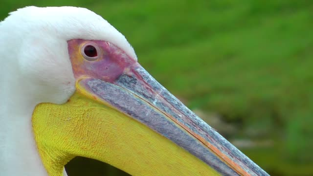 Pelican in nature Pelican in nature sac stock videos & royalty-free footage