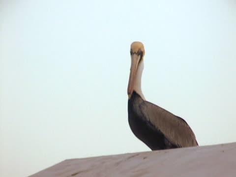 Pelican in Veracruz Mexico 4 video