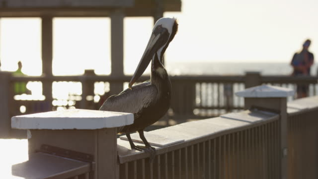 Pelican on a pier Evening view of a pelican on a pier. pelican stock videos & royalty-free footage