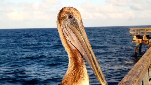 stockvideo's en b-roll-footage met hd: pelican on a pier - gulf coast states