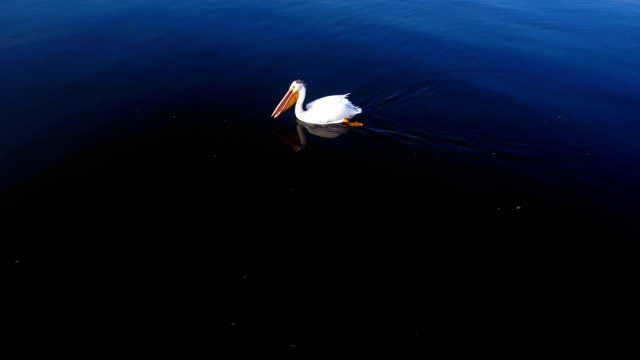 Pelican swimming in the bay video
