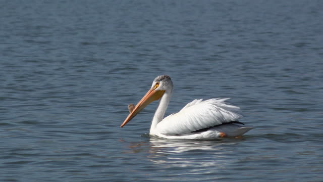 Pelican Swimming in the Water A white pelican swimming in the water pelican stock videos & royalty-free footage