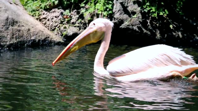 vídeos de stock e filmes b-roll de pelican swimming in the water - animal cativo