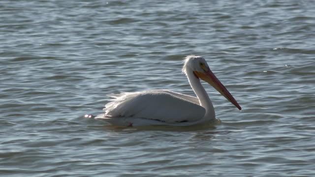 vídeos de stock, filmes e b-roll de pelicano nadando na água - equipamento de esporte aquático