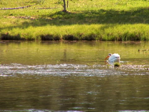 NTSC: Pelican swims away in Yellowstone National Park water bird stock videos & royalty-free footage