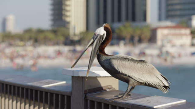 Pelican trying to catch food Pelican trying to catch food. pelican stock videos & royalty-free footage