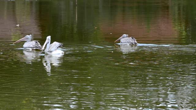 Pelican Pelicans in a lake. pelican stock videos & royalty-free footage
