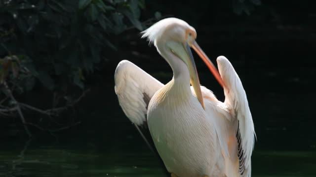 Pelican Rosy Pelican (Pelecanus oncrotalus). pelican stock videos & royalty-free footage