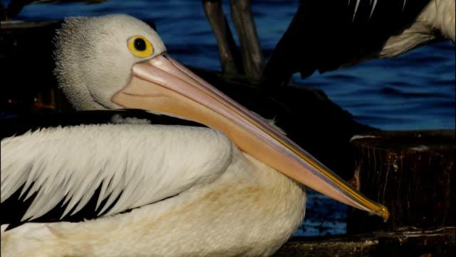 pelican video