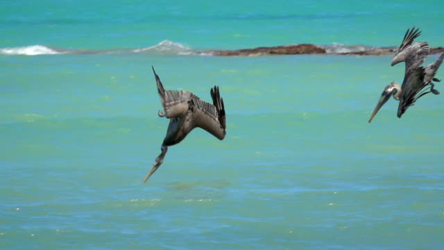SLOW MOTION: Pelicans accompanied by a seagull hunt fish in emerald ocean video