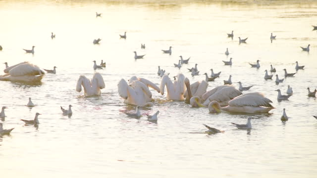 Pelicans and seagulls fishing and hunting together on water Group of pelicans and seagulls fishing and hunting together on water at dawn in summer in natural environment. pelican stock videos & royalty-free footage