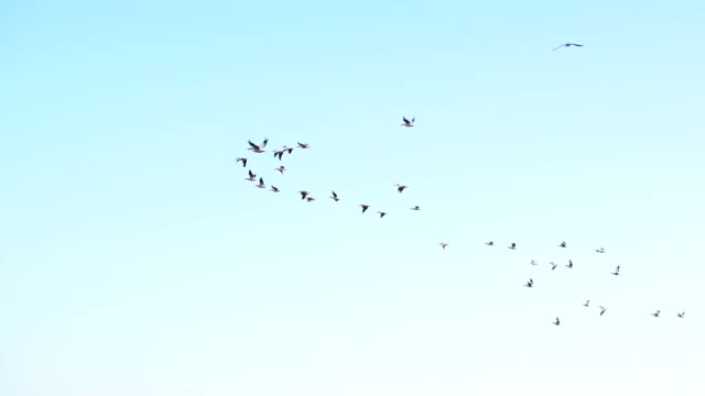 Pelicans fly in the sky in formation Many great white pelican birds fly in the sky in formation. Pelecanus onocrotalus pelican stock videos & royalty-free footage