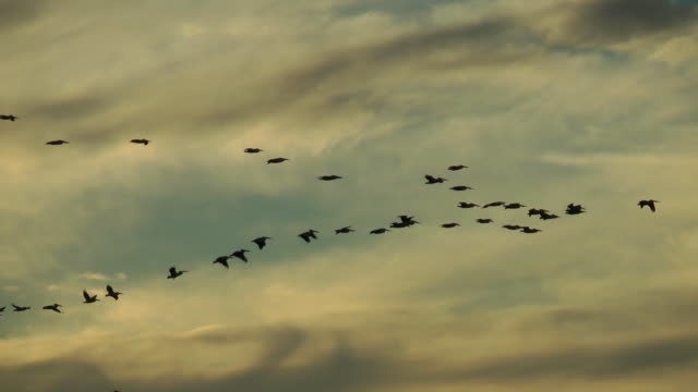 pelicans flying in formation video